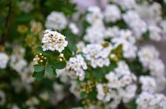 Flores brancas de Spirea em Bush na mola Fotos de Stock