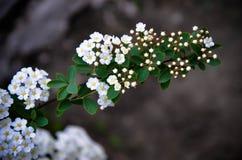 Flores brancas de Spirea em Bush na mola Imagens de Stock