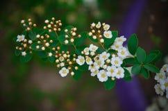 Flores brancas de Spirea em Bush na mola Imagens de Stock Royalty Free