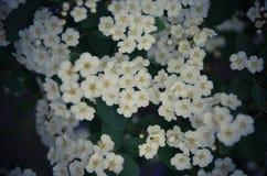 Flores brancas de Spirea em Bush na mola Fotografia de Stock