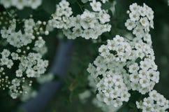 Flores brancas de Spirea em Bush na mola Imagem de Stock
