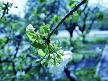 Flores brancas de uma árvore de maçã contra um céu azul, estação da mola foto de stock royalty free