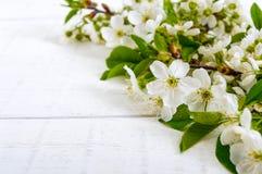 Flores brancas de uma cereja em ramos em um fundo de madeira branco Imagem de Stock