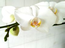 Flores brancas delicadas da orquídea Fotos de Stock Royalty Free
