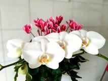 Flores brancas delicadas da orquídea e do cíclame Fotos de Stock