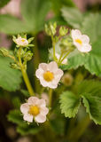 Flores brancas delicadas em um fundo violeta Foto de Stock Royalty Free