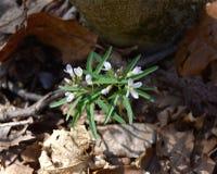Flores brancas delicados e folhas verdes dentadas do toothwort do cutleaf em uma floresta da mola Fotos de Stock