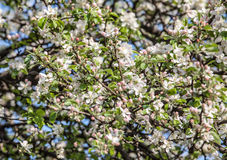 Flores brancas demitidas Foto de Stock
