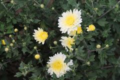 Flores brancas do áster que sorriem no sol Flores brancas do áster no fundo isolado fotos de stock royalty free