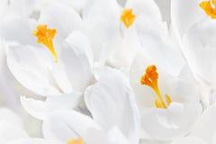Flores brancas do açafrão Imagens de Stock Royalty Free