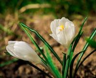 Flores brancas do açafrão Foto de Stock Royalty Free