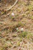 Flores brancas do açafrão Foto de Stock