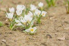 Flores brancas do açafrão Imagens de Stock