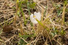 Flores brancas do açafrão Imagem de Stock