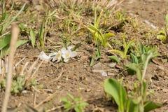Flores brancas do açafrão Fotografia de Stock Royalty Free