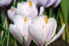 Flores brancas do açafrão da mola Fotografia de Stock