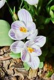 Flores brancas do açafrão da mola Fotos de Stock Royalty Free
