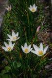 Flores brancas do açafrão da mola bonita e fresca imagens de stock royalty free