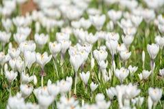 Flores brancas do açafrão da mola na grama verde Fotografia de Stock