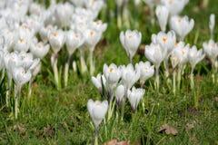 Flores brancas do açafrão da mola na grama verde Fotografia de Stock Royalty Free