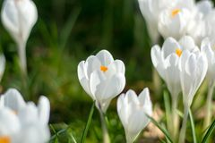 Flores brancas do açafrão da mola na grama verde Foto de Stock