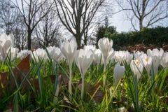 Flores brancas do açafrão da mola na grama verde Fotos de Stock