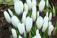 Flores brancas do açafrão em um prado da mola Fotos de Stock