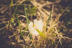 Flores brancas do açafrão filtradas Imagens de Stock Royalty Free