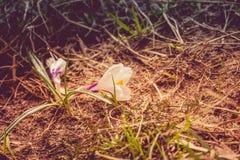 Flores brancas do açafrão filtradas Imagem de Stock