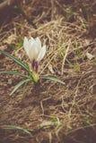 Flores brancas do açafrão filtradas Foto de Stock Royalty Free