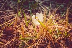 Flores brancas do açafrão filtradas Foto de Stock