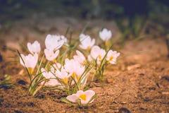 Flores brancas do açafrão filtradas Fotografia de Stock