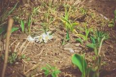 Flores brancas do açafrão filtradas Fotografia de Stock Royalty Free