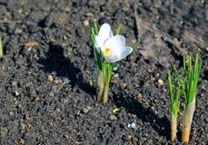 Flores brancas do açafrão no jardim Foto de Stock