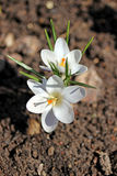 Flores brancas do açafrão no jardim Fotografia de Stock Royalty Free