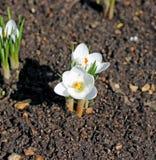Flores brancas do açafrão no jardim Foto de Stock Royalty Free