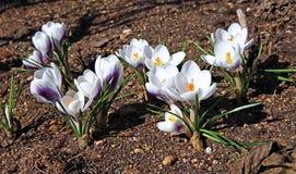 Flores brancas do açafrão no jardim Imagens de Stock