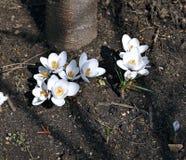 Flores brancas do açafrão no jardim Fotos de Stock Royalty Free