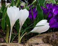 Flores brancas do açafrão no jardim home Imagem de Stock