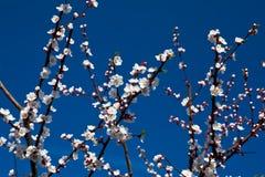 Flores brancas do alperce imagem de stock