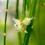 Flores brancas do cacto com ramos de suspensão Imagem de Stock Royalty Free