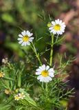 Flores brancas do coentro Imagens de Stock