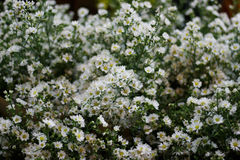Flores brancas do cortador Imagens de Stock