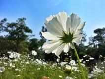 Flores brancas do cosmos Foto de Stock