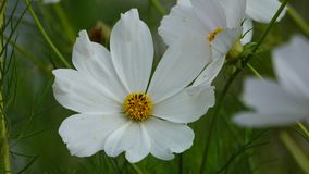 Flores brancas do cosmos no fim acima vídeos de arquivo