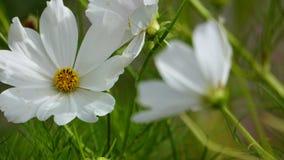 Flores brancas do cosmos no fim acima video estoque