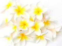 Flores brancas do Frangipani Imagem de Stock