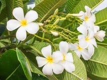 Flores brancas do frangipani Foto de Stock