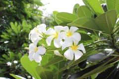 Flores brancas do Frangipani imagens de stock