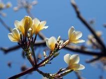 Flores brancas do Frangipani do Plumeria no céu azul Fotos de Stock Royalty Free